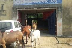 Стадо ослов посадили в тюрьму в Индии