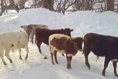 Американский фермер развел домашних коров величиной с собаку
