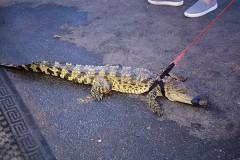 Живые крокодилы стали модным подарком на Рождество в Австралии