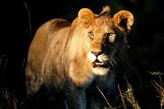 Дикий лев растерзал 22-летнюю женщину на сафари