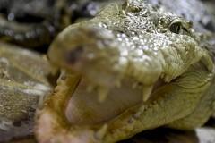 Огромный крокодил пришел в больницу, разозлился и умер