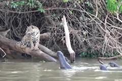 Гигантская выдра одолела двух голодных ягуаров