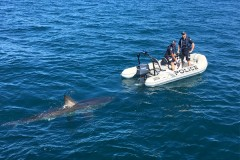 Огромная белая акула увязалась за полицейскими на моторной лодке