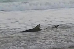 Рыбаки взяли случайно пойманную акулу за хвост и утащили в море