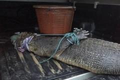 Пугавшего туристов крокодила поймали в Таиланде