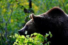 Медведь напал на туристов и ранил 10-летнего мальчика