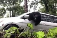 Запертый в машине медведь выбил окно и ушел
