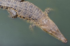 Селяне вырвали подростка из пасти крокодила