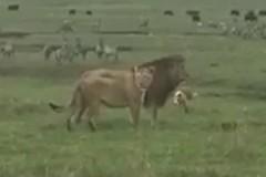 Отважная собака напугала льва и опозорила его перед самкой