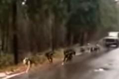 Дюжину собак запрягли тянуть «Ниву»