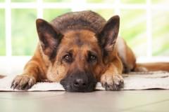 Как лечится грыжа у собаки