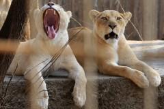 Индиец залез в вольер к редким львам и погиб
