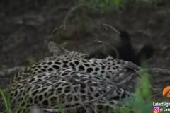 Разъяренный барсук-медоед напал на леопарда и спас детеныша