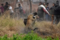 Разъяренный леопард ворвался в деревню и покалечил людей