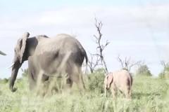 Редчайшего розового слоненка сняли на видео