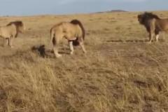 Кровавая схватка молодых львов со старым попала на видео