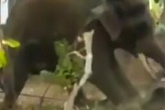 Голодный слон разозлился и убил дрессировщика