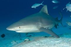 Тупорылая акула убила рыбака