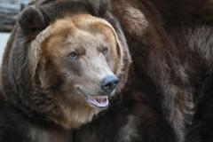 Два медведя подрались во дворе жилого дома