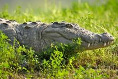 Крокодил откусил девочке руку
