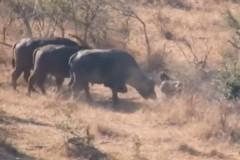 Буйволы прогнали львов ради спасения раненого собрата