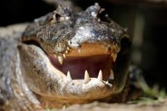 Аллигатор отомстил охотнику на аллигаторов