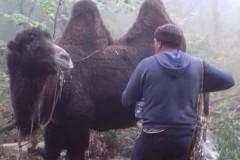 Табун верблюдов под Новороссийском удивил спасателей
