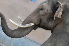 Сбежавший цирковой слон напугал жителей белорусской деревни
