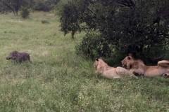 Беззаботный кабан разбудил четырех львов и остался жив