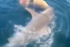 Акула-людоед намертво вцепилась в гигантскую рыбу в метре от рыболовов