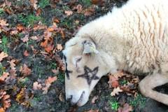 Загадочные убийства овец напугали британских фермеров
