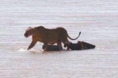 Львица спасла детеныша из кишащей крокодилами реки