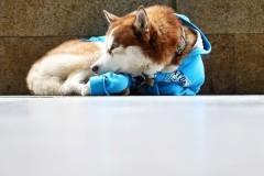Российский Хатико в свитере решил ждать хозяйку у работы