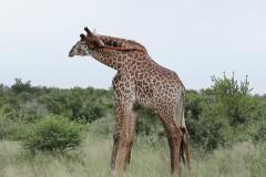 Схватка жирафов из-за самки попала на видео