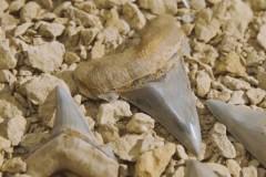 Женщина гуляла с собакой и внезапно обнаружила зуб огромной доисторической акулы