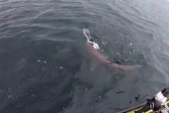 Рыбак поборолся с голодной акулой за морскую собаку и проиграл